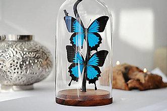 Dekorácie - Papilio Ulysses- Motýle v sklenenej kupole - 12922283_