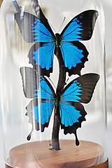 Dekorácie - Papilio palinurus- Motýle v sklenenej kupole - 12943494_