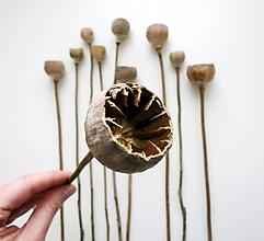 Suroviny - Makovice zrezané, na stonke - mix 10ks - 12990976_