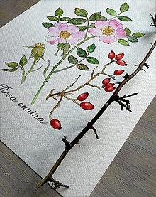 Obrazy - Obraz Ruža šípová - 13004713_