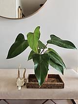 "- Živá Rastlina ""Philodendron Erubescens Red Emerald"" - 13114738_"