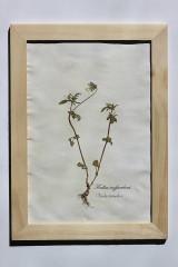 Dekorácie - Botanický herbár liečivých bylín Fialka trojfarebná - 13227097_