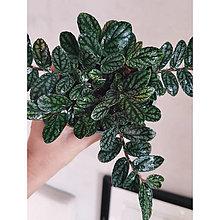 Iný materiál - Pellionia pulchra /Procris repens - 13567689_