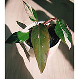 - Philodendron Pink Princess  - 13589923_