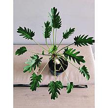 Suroviny - Philodendron Xanadu XL - 13602829_