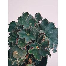 """Suroviny - Begonia """"Black Mamba"""" - 13677264_"""
