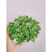 Suroviny - Živá rastlina- Peperomia Orba Variegata - 13677283_