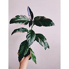 Suroviny - Pseuderanthemum atropurpueum tricolor - 13692012_