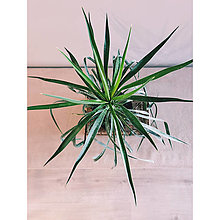 Suroviny - Yucca aloifolia - 13694278_
