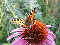 Fotografie - Echinacea s motýľom - 13707195_