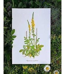Obrazy - Obraz Repík lekársky Agrimonia eupatoria - 13713801_