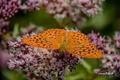 Fotografie - Motýľ Emanuel - 13735766_