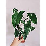- Syngonium podophylum albo variegatum  - 13741449_