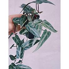 Suroviny - Cissus Amazonica ( patrhenocissus Amazonica) - 13741413_