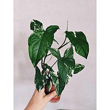 Suroviny - Syngonium podophylum albo variegatum - 13741449_