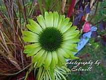 Fotografie - Echinacea Green Jewel - 13770995_