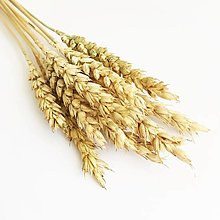 Suroviny - pšenica zlatá - 13780685_