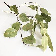 """Suroviny - eukalyptus """"tereticornis"""" - 13789920_"""