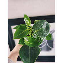 "Suroviny - Peperomia Maculosa ""Smaragd"" - 13817639_"