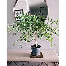 Suroviny - Ficus cordata - 13818263_